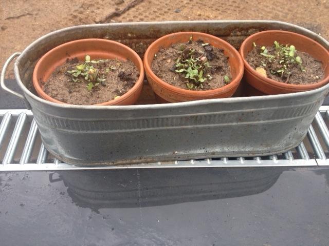 Flora hat ihre Samenbomben vor einer Woche gepflanzt