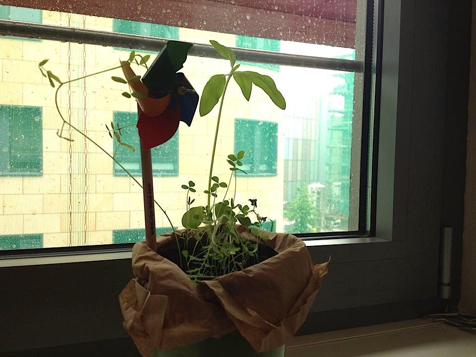 Die Samenbomben im bettervest-Büro nach 4 Wochen