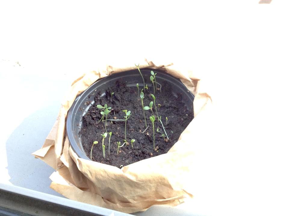 Tag 7 unserer im Büro gepflanzten Samenbomben
