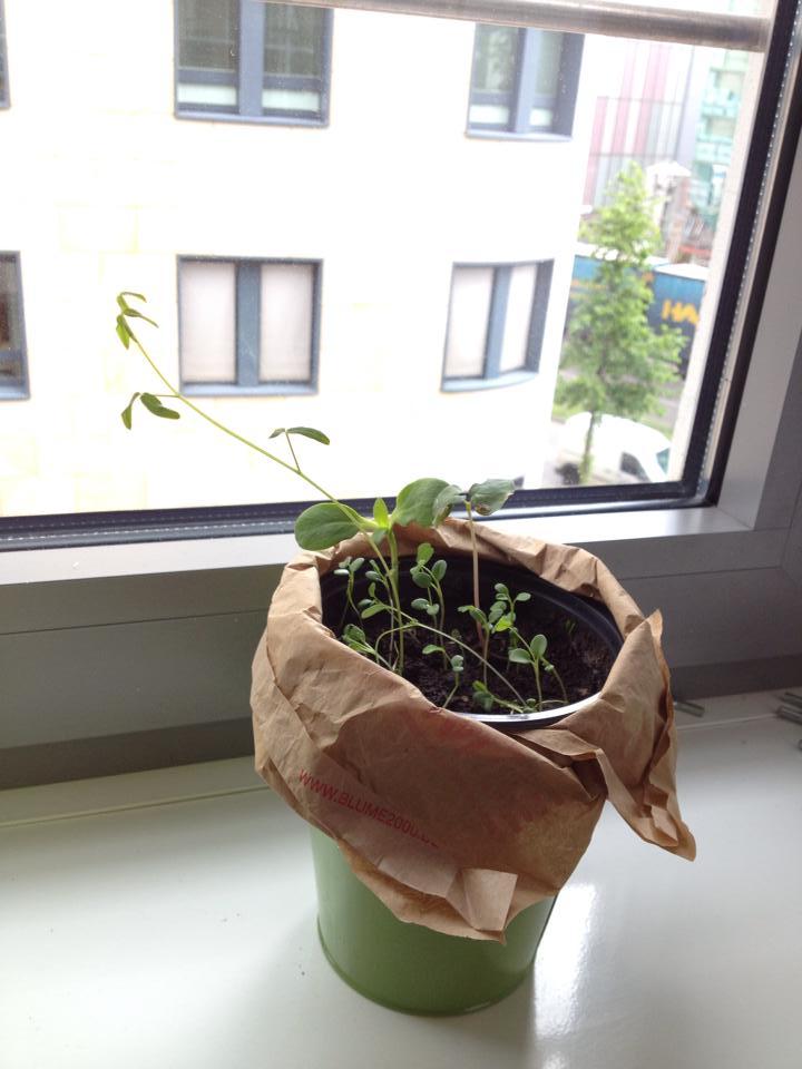 Unsere Büro-Samenbomben zwei Wochen nach dem Einpflanzen