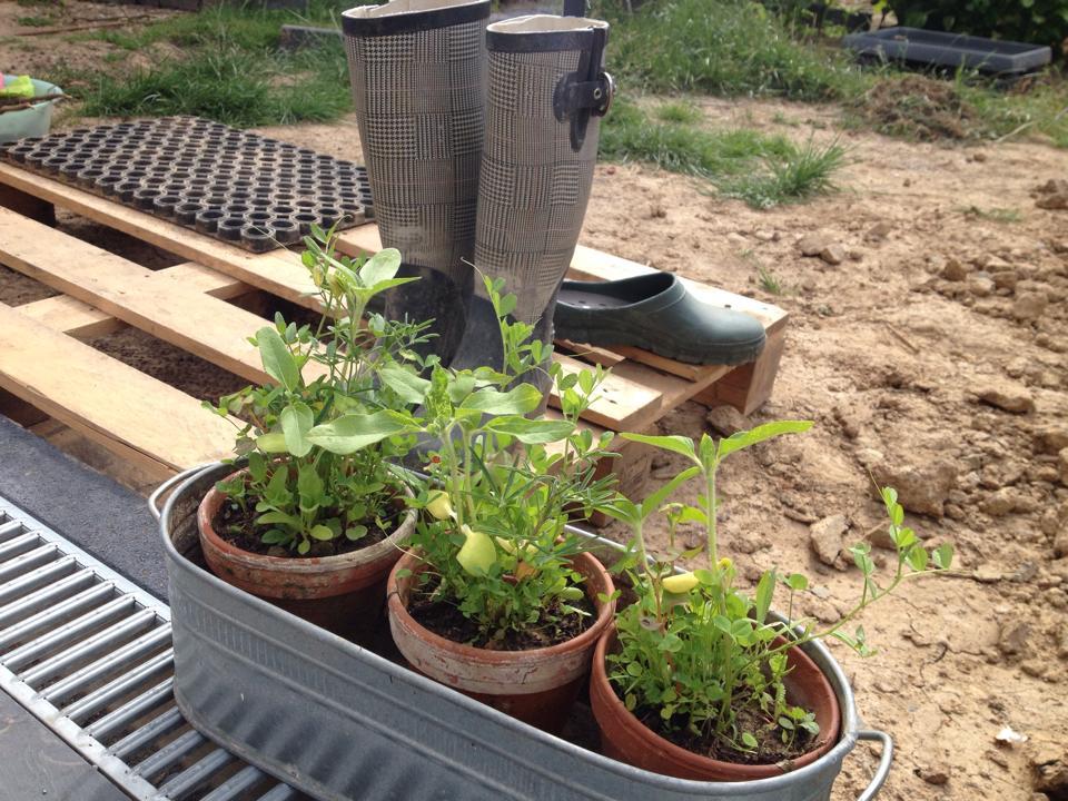 """Floras """"Outdoor""""-Samen nach 4 Wochen"""